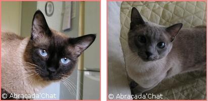 Baileys et Bianca , mes 1er chats en accueil